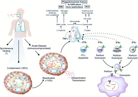 Protection against tuberculosis: cytokines, T cells, and