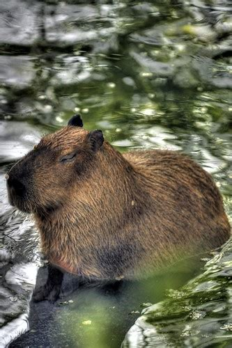 This is Ginger, the world's largest rodent - a capybara at
