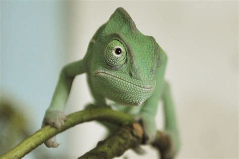 Cute animal picture of the day: baby Yemen chameleons